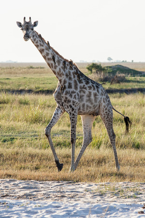 chobe national park: A giraffe standing at the beach at Chobe national park in Botswana at the border to Namibia