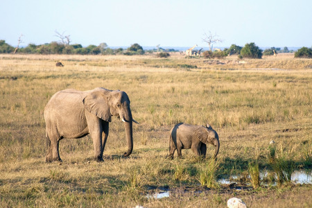 Elephant mother and baby in Botswana