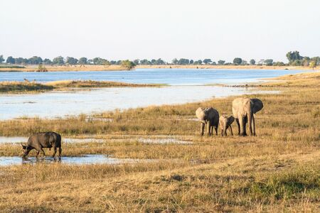 Elephant family and buffalo in Botswana during safari in Chobe National Park