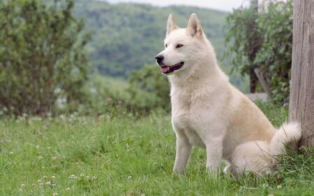Male Siberian husky (Laika) dog sitting outdoor