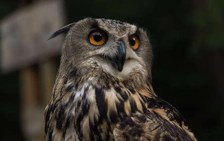 Profile Portrait of Eurasian eagle owl or Bubo bubo owl Stock fotó