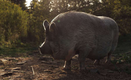 Old fat wild pig with angry face at the sunset