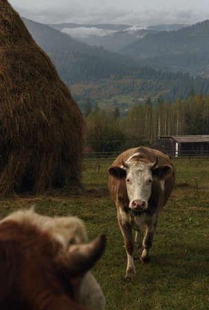 Cows on Carpathian mountains in Ukraine