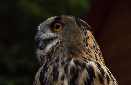 Profile view of eurasian eagle owl in the wild Banque d'images