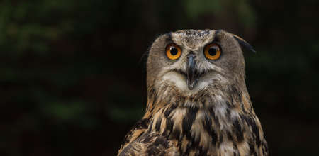 Portrait of eurasian eagle owl looking at the camera