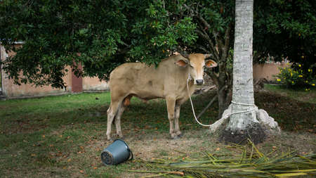 A brown cow tied to the coconut tree with ropes at the field. The cow is for celebrate the Muslim Eid Al-Adha, the Festival of Sacrifice. Selective focus and angle.