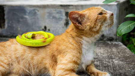 Close up view of a ginger stripes cute stray cat resting and laying down on the staircase. Animal and homeless concept. Plastic snake toys on cat body. 写真素材