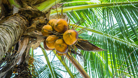 Fresh green yellowish coconut on the tree, coconut cluster on coconut palm tree with clear blue sky as background. Reklamní fotografie