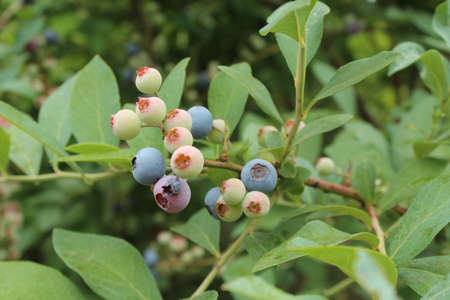 Blueberry trees