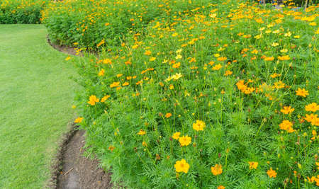Field of yellow Cosmos flower blossom on green leaves beside green grass lawn in a garden