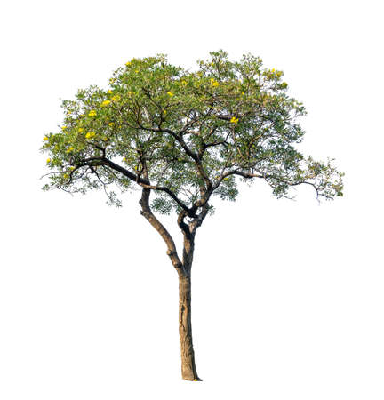 Single green leaves of Silver trumpet tree or Golden trees isolated image, an evergreen leaves plant and yellow flower die cut on white background with clipping path