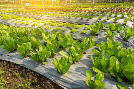 Vegetable planting in organic farmland, baby cos lettuce, and green and red oak  seedling spreading on brown soil cover by black plastic sheet in nursery under shading of greenhouse