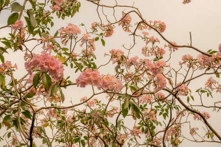Bunches of Pink Trumpet shrub flowering tree blossom in spring on green leaves branches and twig, under cloudy sky background, know as Pink Tecoma or Tabebuia rosea plant, selective focus Archivio Fotografico