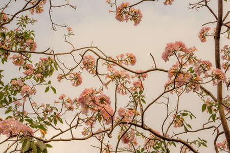 Bunch of Pink Trumpet shrub flowering tree blossom in spring on green leaves branches and twig, under cloudy sky background, know as Pink Tecoma or Tabebuia rosea plant, selective focus