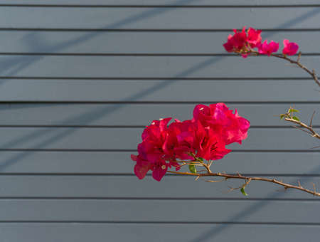Bunch of Red petals of Bougainvillea flower plant blooming on grey color wooden natural backgrounds