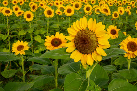 Field of sunflower plant blossom in a garden, view from front of yellow petals flower head spread up blooming above green leaves