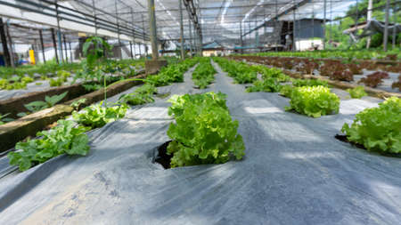 Vegetable plantation in organic farmland, young green and red oak leaf lettuce seedling spreading on brown soil cover by black plastic sheet in nursery under shading of greenhouse