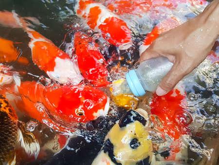 koi: Feeding Koi from a babys bottle Stock Photo
