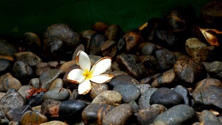 Bright frangipani on black peddles photo