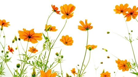 Orange daisy on white background photo