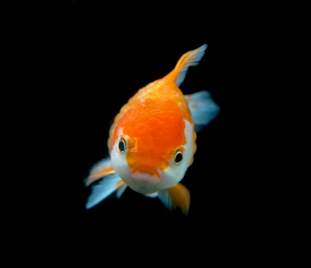 tanjo: goldfish on black background