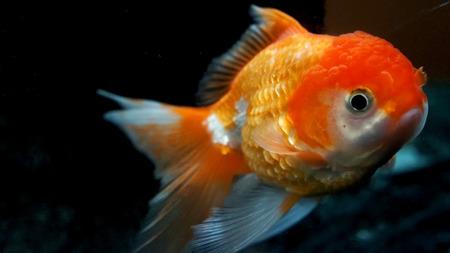 tanjo: goldfish close up Stock Photo