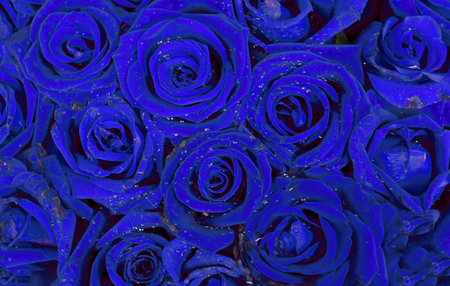 Blue roses as background photo
