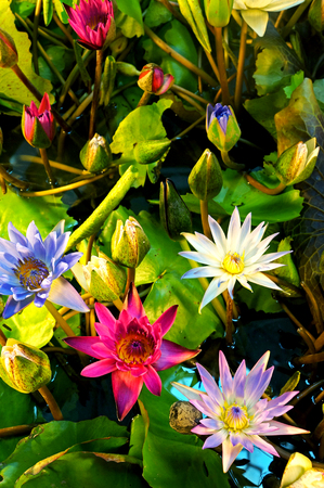 Mixed colors lotus flower blooming at summer stock photo picture mixed colors lotus flower blooming at summer stock photo 23729791 mightylinksfo