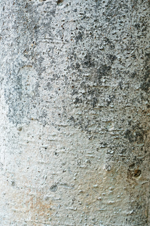 face in tree bark: white trunk texture
