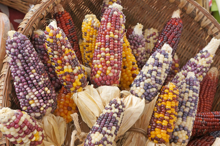 Colorful dried Indian Corn photo
