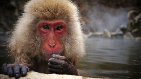 Snow Monkey at Jigokudani near Nagano, Japan photo