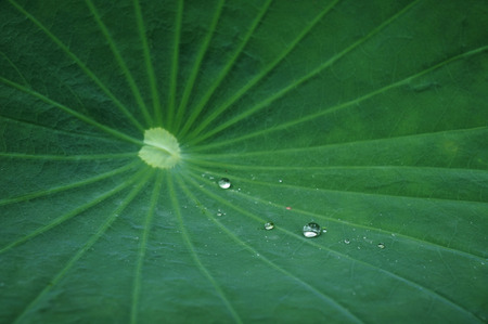 bionics: lotus leaf with water drop Stock Photo
