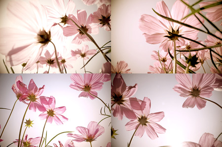 Vintage collage of Cosmos flowers  Art floral background  Retro style  photo
