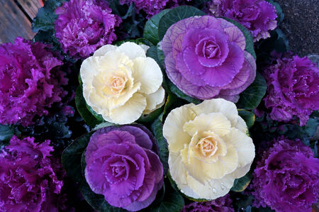 flowering kale: background of purple decorative cabbage Stock Photo