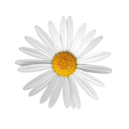 daisy flower: beautiful flower daisy on white background