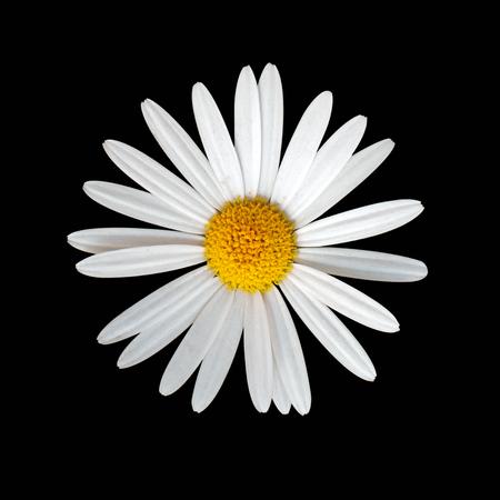 Daisy flower on black background Standard-Bild