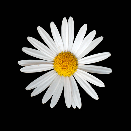 Daisy flower on black background Banco de Imagens