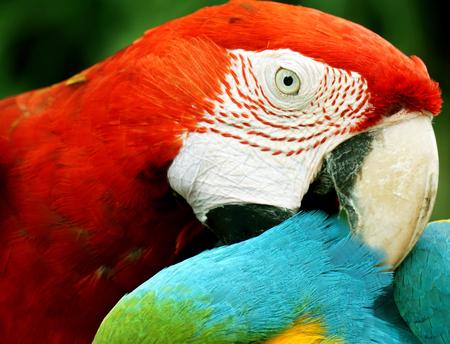 close up macaw (big parrot) photo