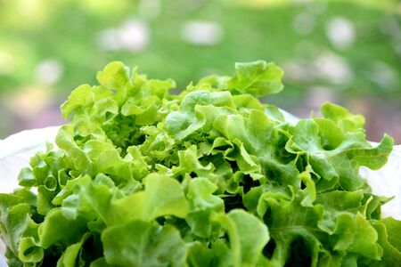 lettuce: Fresh lettuce in a bowl