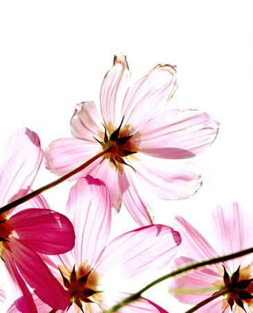 purple floral: Studio Shot of Fuchsia Colored Cosmos Flowers Isolated on White Background Stock Photo
