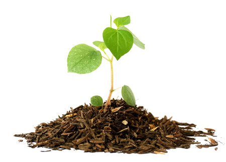 to thrive: Growing a plant in soil isolated on white
