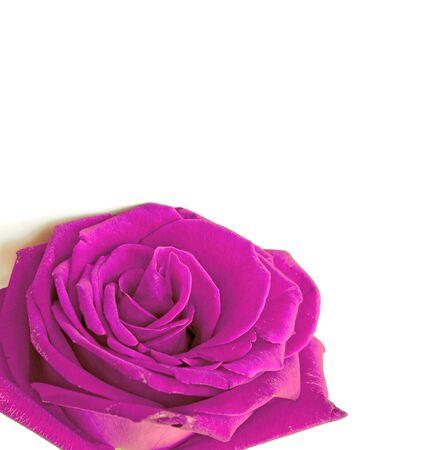 purple rose: macro of a purple rose on white background Stock Photo