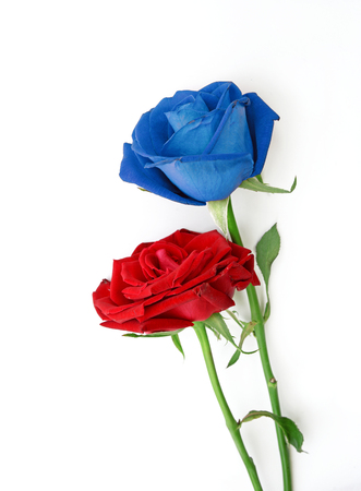 blue roses: Red and blue roses on white background Stock Photo