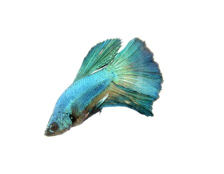 dragon swim: Capture the moving moment of big ear siamese fighting fish isolated on white background, Betta