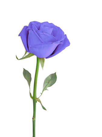 Blue Rose isolated over white