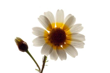 coronarium: Flower chrysanthemum coronarium