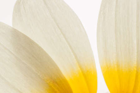 coronarium: Chrysanthemum petals close up