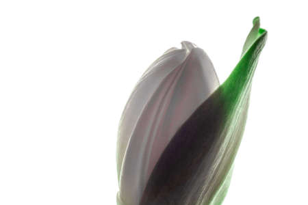greet: wonderful white tulip flower, closed bud with green leaf