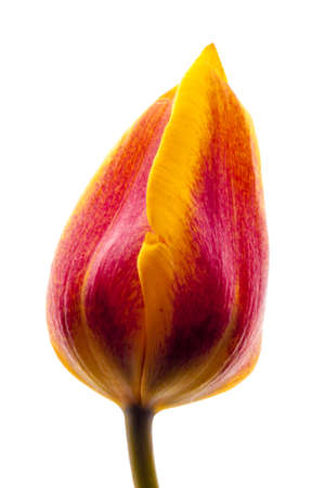 greet card: magnificent red and yellow tulip flower. closed bud