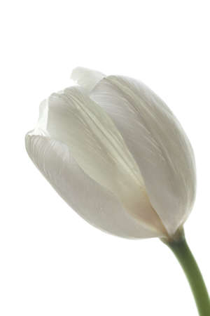 greet card: tender white tulip on white background. symbol of purity & candor
